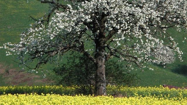 Börse soll zum Erhalt der Fricktaler Hochstammbäume beitragen (hier ein Baum während der Blütezeit im Frühlin).