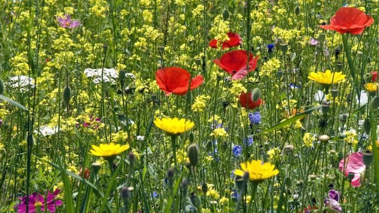 Wildbienenblumenwiese.jpg