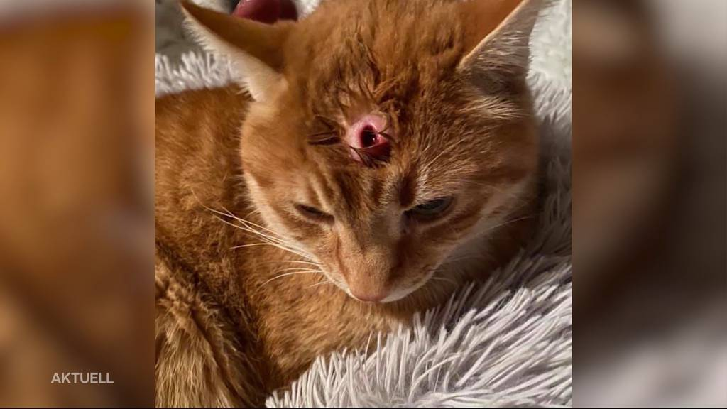 Kopfschuss: In Kölliken wurde ein Kater mit einem Luftgewehr schwer verletzt