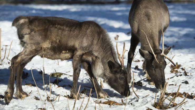 Rentiere in einem Schweizer Zoo. Nachdem sie auf Spitzbergen lange eine bedrohte Tierart waren, wachsen die Populationen dort wieder. Doch die Gefahr lauert nun in Gestalt der Klimaerwärmung. (Symbolbild)