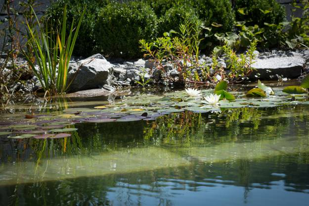 Auch Seerosen blühen im Teich