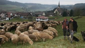 Im Winter eine Seltenheit: Die Schafherde findet zwischen Ober- und Unterbaldingen eine saftig-grüne Wiese.
