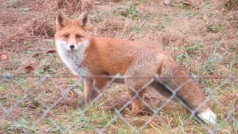 Das Problem sei nicht der Fuchs. Dieser mache nur, was die Natur ihm vorgibt, erklärt Benjamin Sinniger von der Direktion des Kinderzoos in Rapperswil.