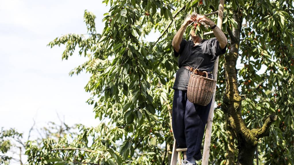 Obstbauern erwarten gute Chriesi-Ernte – so kannst du die Früchte verarbeiten