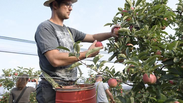 Obstbauer Ralph Gilg bei der Apfelernte im thurgauischen Fruthwilen. Die Apfelernte findet dieses Jahr wegen der Trockenheit früher statt. Die Früchte sind teilweise kleiner.