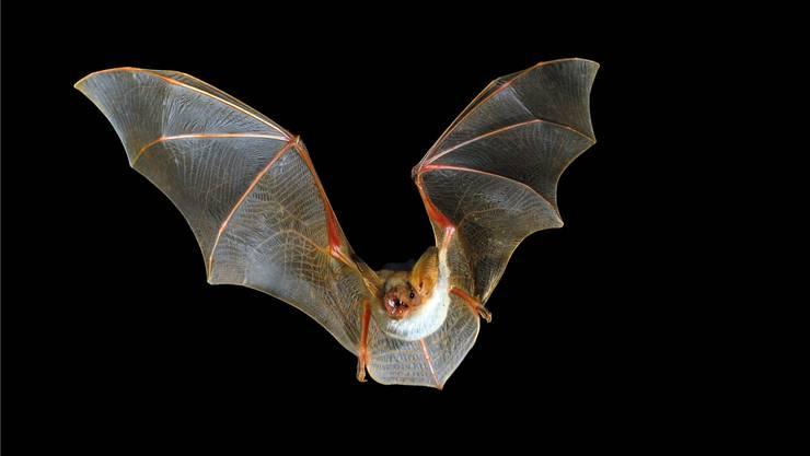Grosses Mausohr: Die Fledermaus-Kolonie in Veltheim ist Gegenstand einer wissenschaftlichen Arbeit. Shutterstock