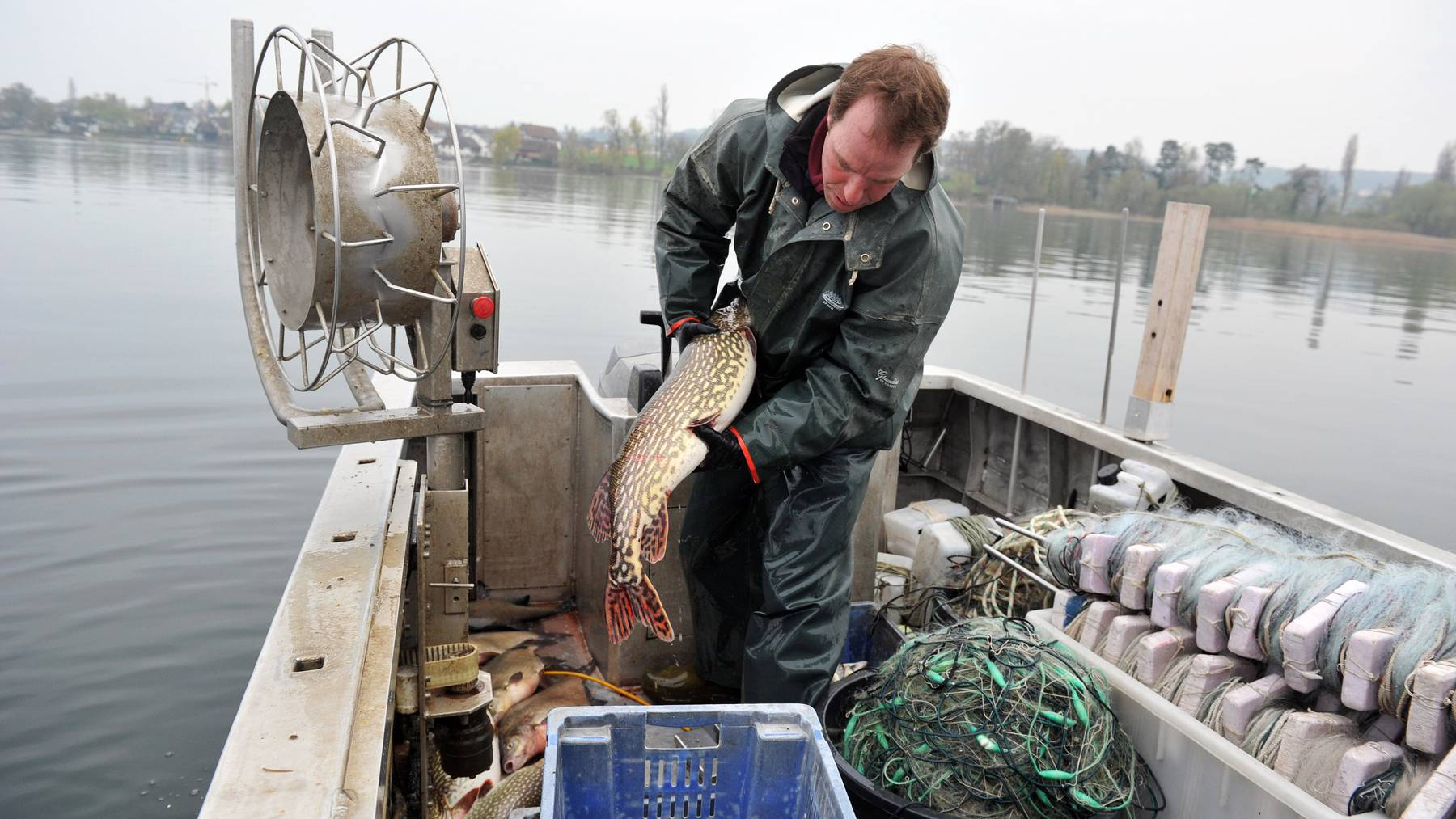 Immer weniger Fische werden aus dem Bodensee gezogen.