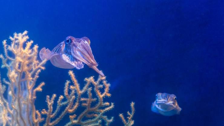 Für kurze Zeit sind jetzt im Vivarium im Zoo Basel Sepien (oder Gemeine Tintenfische) zu sehen.