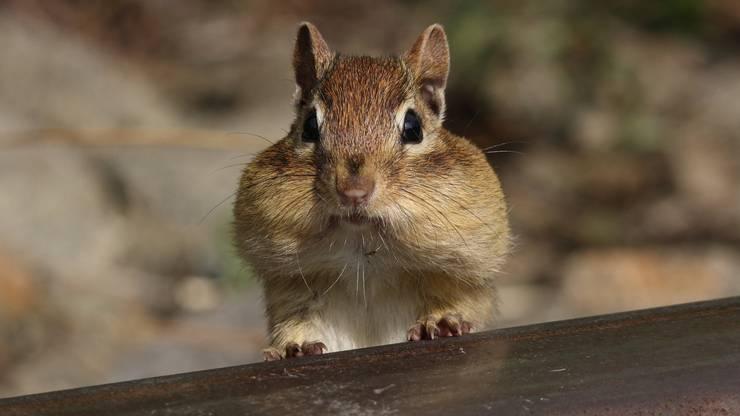 AAAALVIN! Ja dieser süsse Kerl ist ein Streifenhörnchen und eignet sich auch als Haustier. Das Tier benötigt allerdings viel Platz, viele Klettermöglichkeiten und kann nur alleine gehalten werden.