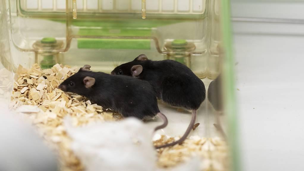 Der Ständerat will die Zahl der Tierversuche schrittweise vermindern. Ein radikales Verbot – wie es eine Volksinitiative fordert - lehnt er aber oppositionslos ab. (Themenbild)