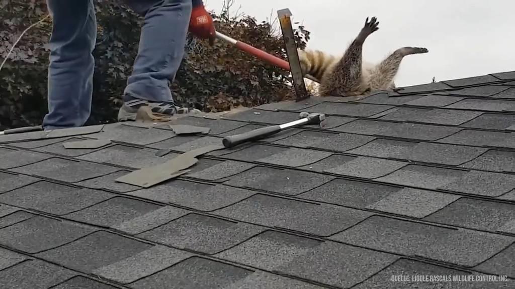 Dumm gelaufen! Waschbär will einbrechen und bleibt in Dach stecken