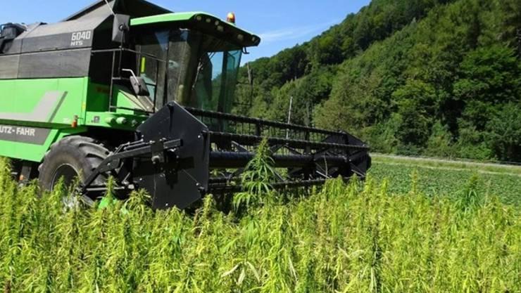 Weil dem Bund die gesetzlichen Grundlagen fehlen für die Förderung des Nahrungsmittelhanfs, springt der Kanton Graubünden ein.