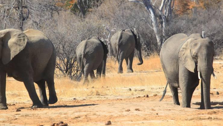 Elefanten im Hwange-Nationalpark in Simbabwe: Beim Kampf gegen Wilderei sind in diesem Jahr 22 Wilderer getötet und hunderte festgenommen worden. (Archivbild)