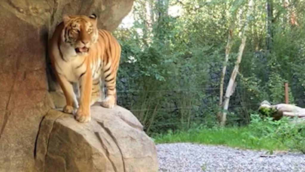Zoo Zürich: Tödliche Attacke hat keine Folgen für Tigerin Irina