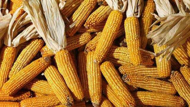 Gentechnisch veränderter Mais dominiert den US-Markt (Symbolbild)