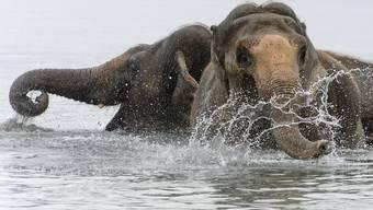 Die Elefanten nehmen ein letztes Bad im Genfersee