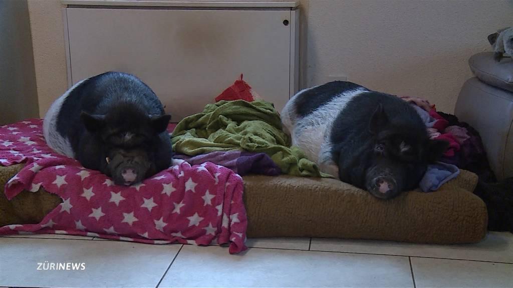 Spezielle Tierhalter: Zwei Minipigs grunzen in der Wohnung