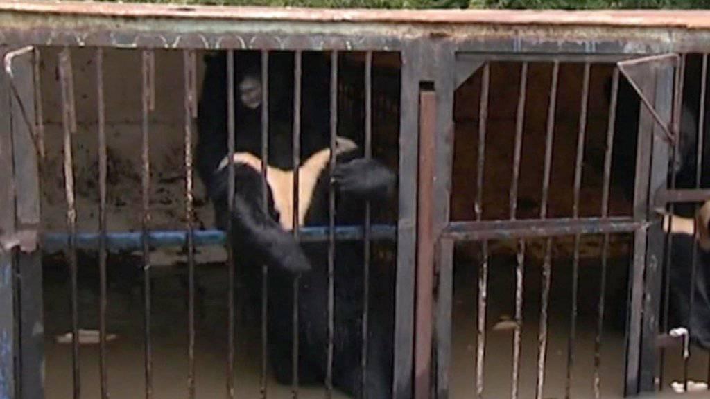 Zwei Bären in überfluteten Käfigen nach Hochwasser im russischen Ussurijsk