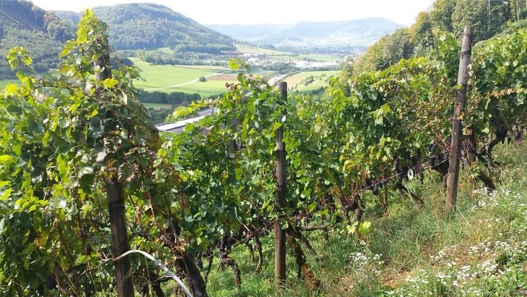 Mitte September steht im Weinberg ob Hornussen ein Spitzenjahrgang kurz vor der Ernte.