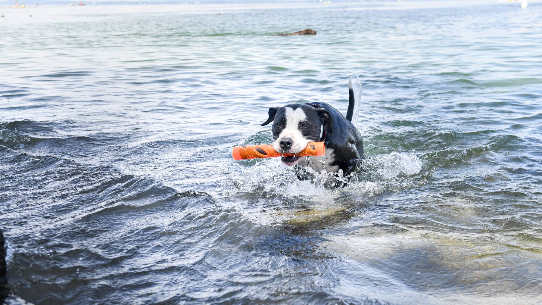 Blaualgen bedeuten für Hunde eine Gefahr.
