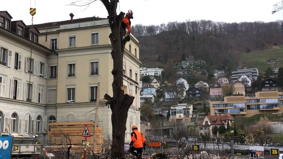 Stück für Stück: Die Winterlinde auf dem Badener Kurplatz wird gefällt