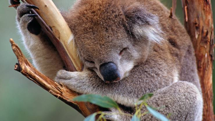Der WWF warnt vor dem Aussterben der Koalas im australischen Staat New South Wales. (Archiv)