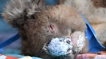 Tierärzte und Tausende freiwillige Helfer haben nach den Waldbränden Koalas gerettet und versorgt. EPA/DAVID MARIUZ AUSTRALIA AND NEW ZEALAND OUT