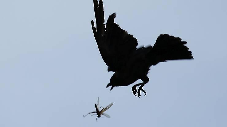 Eine Krähe versucht in der Luft eine Heuschrecke zu fangen. Ein Schwarm von Wüstenheuschrecken, die für die Zerstörung von Feldern gefürchtet sind, sind in dem Land gesehen worden. Die Heuschrecken kamen mutmaßlich aus Pakistan und Indien. Foto: Sunil Sharma/ZUMA Wire/dpa
