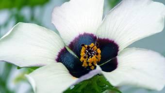 Die Mitte der Blüte enthält ein dunkles Pigment, schimmert aber aufgrund der Oberflächenstruktur blau.