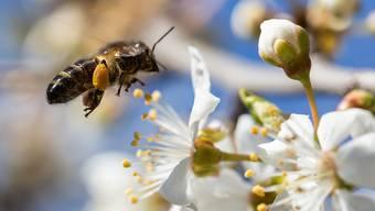 Frühlingshonig stellen die Bienen aus Nektar her, Sommerhonig hingegen wird aus Honigtau, den sie ausschliesslich im Wald finden, gemacht. (Archivbild)
