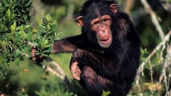 Wissenschafter sind überzeugt, dass wir von den Heilkünsten der Schimpansen lernen können.