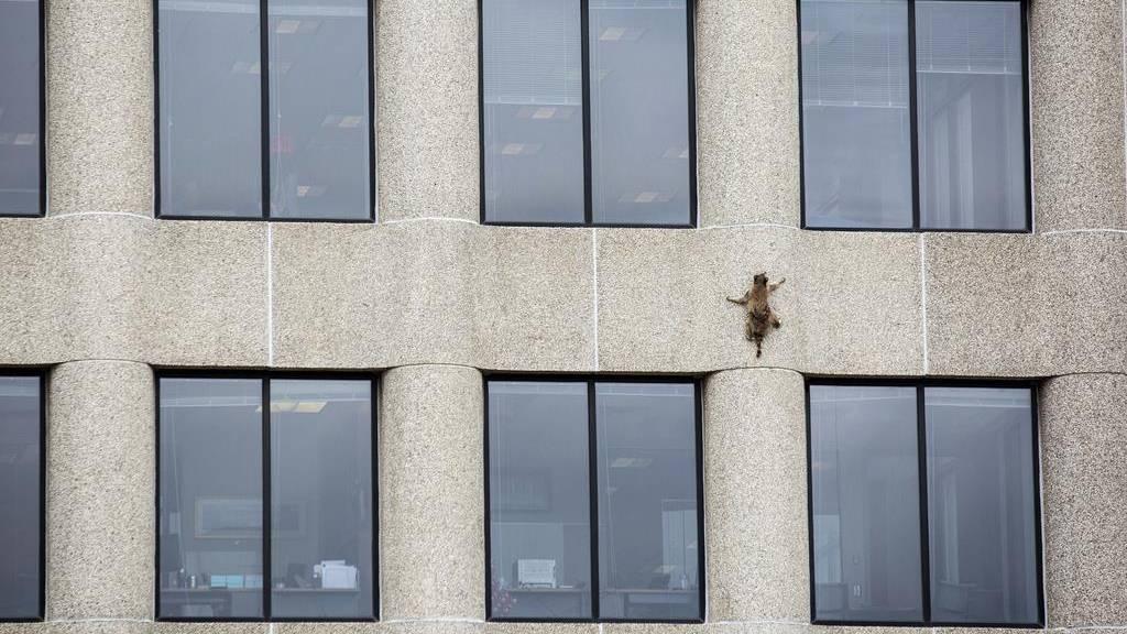 Waschbär klettert auf UBS-Gebäude