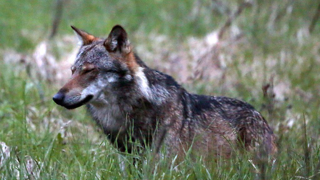 Vier Wölfe kamen in Graubünden dieses Jahr bisher im Strassenverkehr um. (Themenbild)