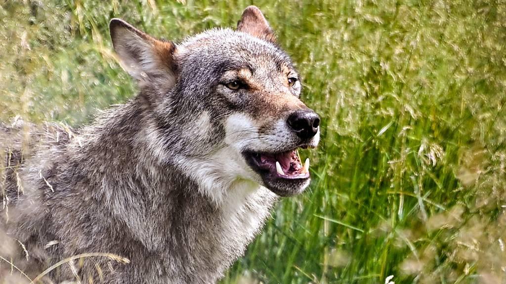 Im Gebiet der Schwyzer Gemeinde Schübelbach hat vermutlich ein Wolf ein Schaf gerissen. (Symbolbild)
