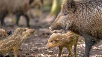 In den Maisfeldern halten sich zurzeit auch viele Mutterschweine mit Frischlingen auf.