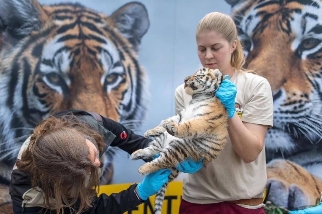 Tigerbabys im Walter Zoo (© Tagblatt/Michel Canonica)