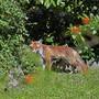 Der Fuchs hat es auf die Witzwiler Ferkel abgesehen (Archivbild).
