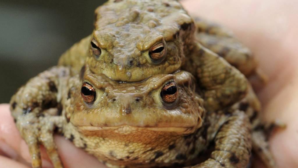 Zum Zweck der Paarung trägt eine Erdkröte ein Männchen auf ihrem Rücken.