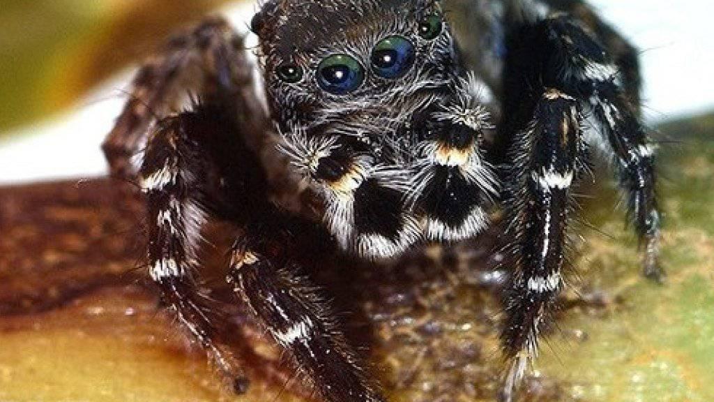 """Die australische Springspinnen-Art """"Jotus karllagerfeldi"""" ist vier bis fünf Millimeter gross und lebt an der australischen Ostküste."""