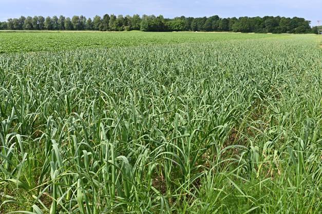 Der Knoblauch wächst auf einer Fläche von einer Hektare.