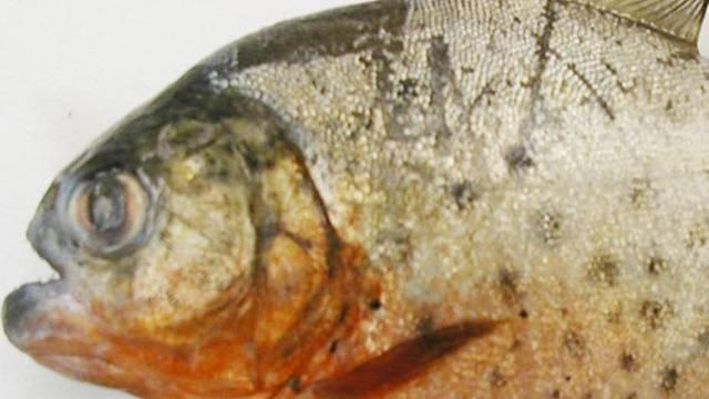 Die chinesischen Behörden verteilen gratis Fleisch als Köder für Piranha-Fische (Archiv)