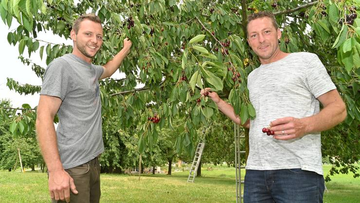Simon (links) und Lukas Grob kümmern sich in ihrer Freizeit um die insgesamt 80 Hochstammbäume in Winznau.