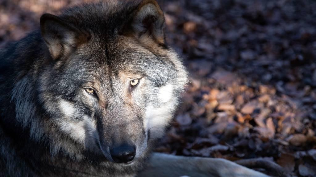 19 weitere Risse: «Wolf tötet so viel, wie er kann»