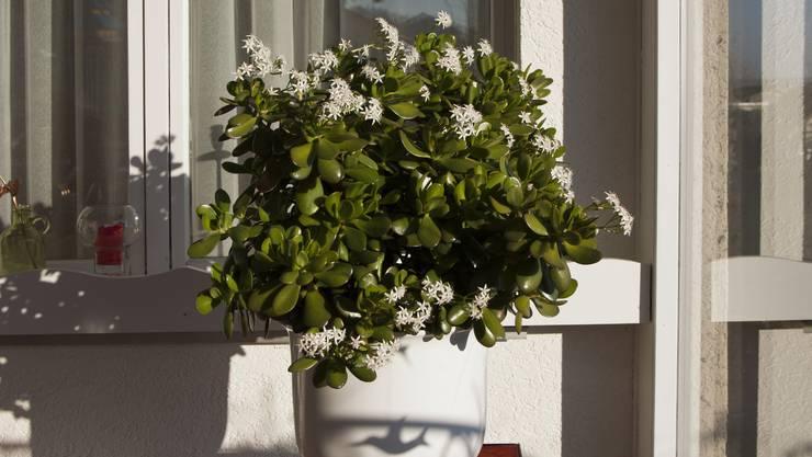 Unser Geldbaum (Crassula ovata) spürt den Frühling.
