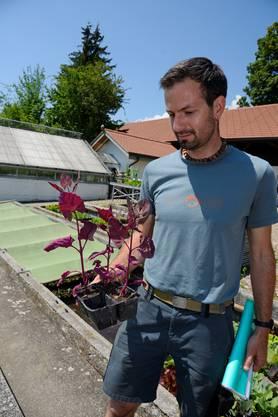 Roland Blaser zeigt Gartenmelde.