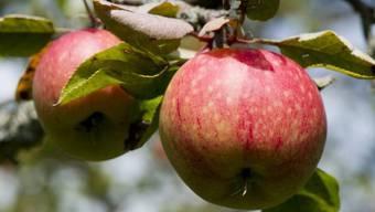 Gentechnisch veränderte Apfelbäume sollen künftig gegen Feuerbrand resistent sein (Symbolbild)
