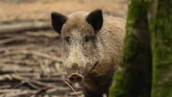 Wildschweine haben dieses Jahr im Fricktal weniger Schäden angerichtet als vor Jahresfrist. Archiv