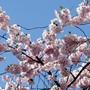 Kirschbäume sind besonders anfällig auf Frost. (Symbolbild)