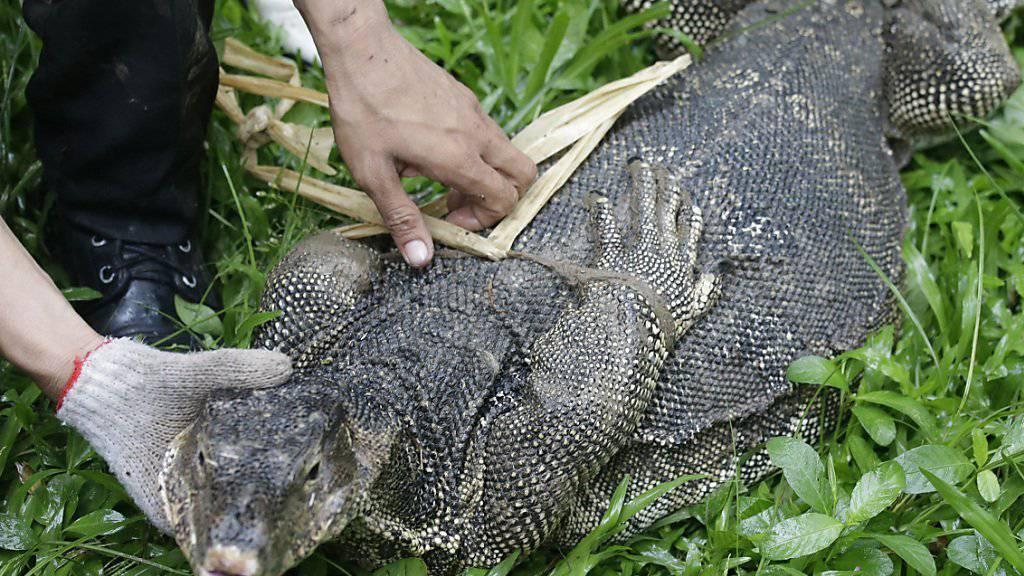 Ein Wildhüter fesselt einen Waran im Lumphini-Park in Bangkok.