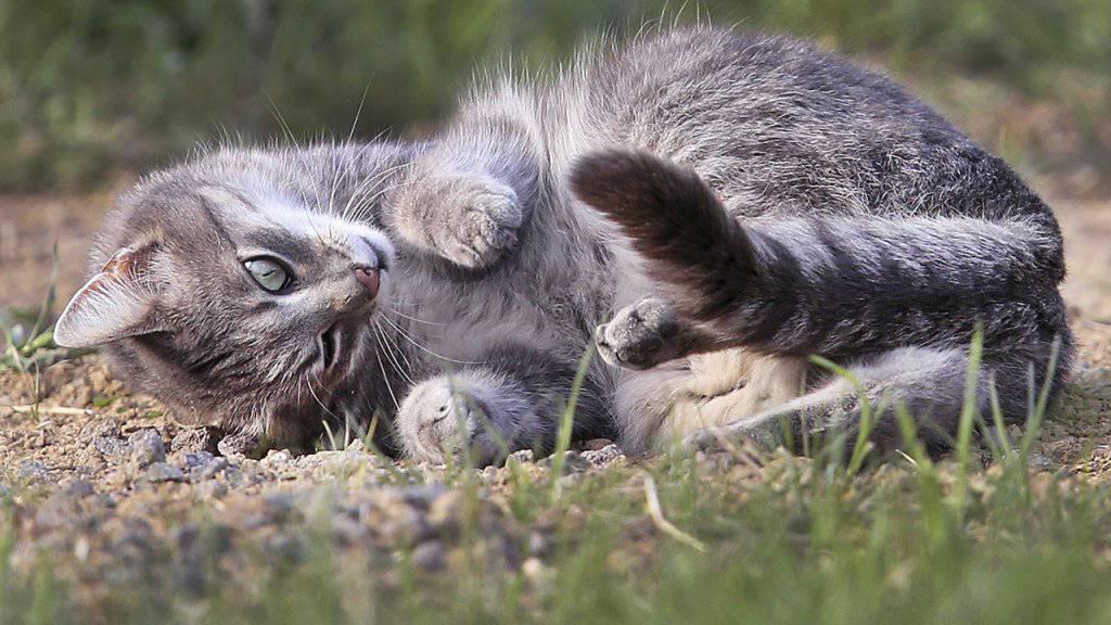 Unter der Annahme, dass ein Katzenpaar zwei Mal pro Jahr Nachwuchs erhält und jeweils 2,8 Kätzchen pro Wurf überleben, ergibt sich nach zehn Jahren ein Katzenbestand von über 80 Millionen Tieren. Deshalb sollten streunende Katzen kastriert werden. (Archivbild)